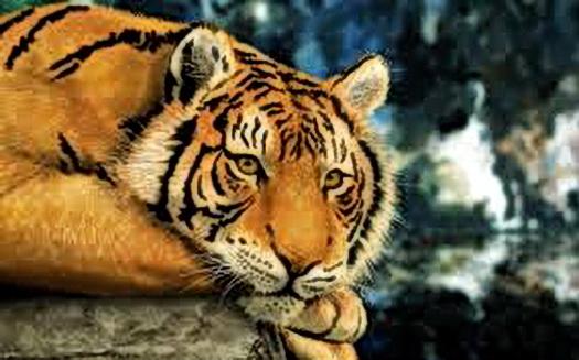29 липня – Міжнародний день тигра